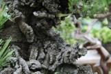 Bonsai san 24 - pinus thunbergii corticosa