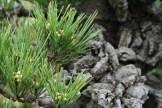 Bonsai san 25 - pinus thunbergii corticosa