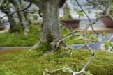Bonsai san 29 - carpinus - charme