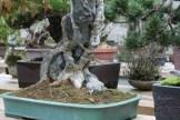 Bonsai san 39 - acer buergeranium sur roche