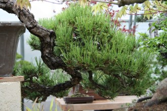 Bonsai san 42 - pinus thunbergii