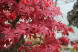 Bonsai san 47 - acer palmatum
