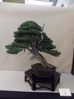 crespi cup 2012 - juniperus