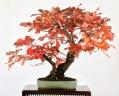 michael bonsai - bonsai de chêne - couleurs automne