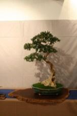 selection régionale EST 2012 - bonsai buis 1