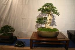 selection régionale EST 2012 - bonsai buxus 1
