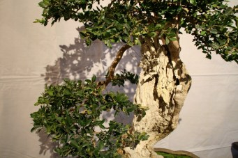 selection régionale EST 2012 - bonsai buxus 2