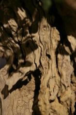 selection régionale EST 2012 - bonsai buxus 6 bois morts