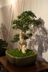 selection régionale EST 2012 - bonsai buxus 9