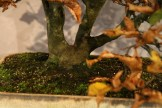 selection régionale EST 2012 - bonsai charme 2