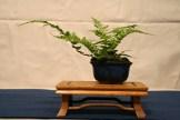 selection régionale EST 2012 - bonsai fougere