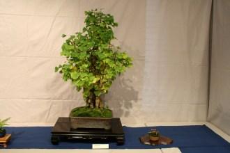 selection régionale EST 2012 - bonsai ginkgo biloba 1