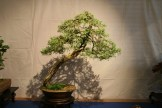 selection régionale EST 2012 - bonsai juniperus 1