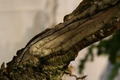 selection régionale EST 2012 - bonsai larix 3 bois morts