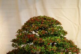 selection régionale EST 2012 - bonsai orme de chine 5