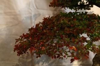 selection régionale EST 2012 - bonsai orme de chine 8
