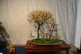 selection régionale EST 2012 - bonsai orme de chine foret 1