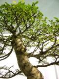 selection rhone alpes bonsai 2012 101