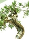 selection rhone alpes bonsai 2012 103