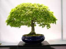 selection rhone alpes bonsai 2012 107