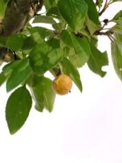 selection rhone alpes bonsai 2012 112