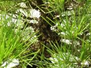 selection rhone alpes bonsai 2012 119