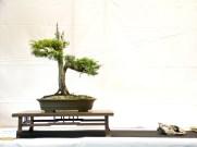 selection rhone alpes bonsai 2012 12
