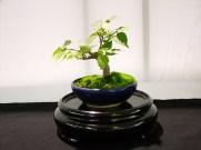 selection rhone alpes bonsai 2012 120
