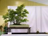 selection rhone alpes bonsai 2012 15