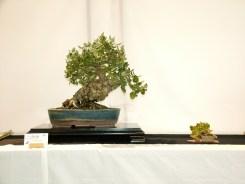 selection rhone alpes bonsai 2012 19