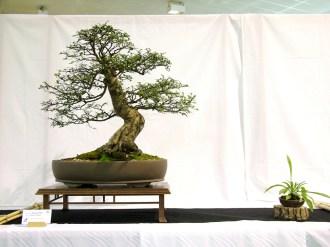 selection rhone alpes bonsai 2012 29