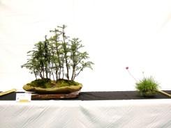 selection rhone alpes bonsai 2012 31