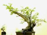 selection rhone alpes bonsai 2012 49