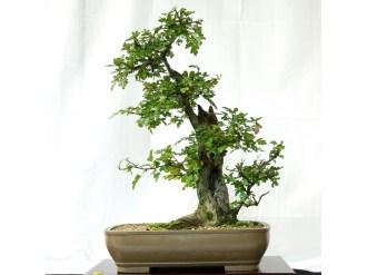selection rhone alpes bonsai 2012 51