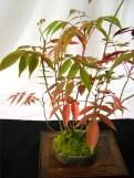 selection rhone alpes bonsai 2012 54