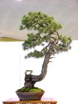 selection rhone alpes bonsai 2012 64