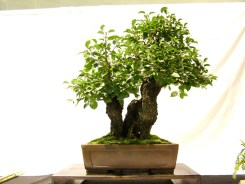 selection rhone alpes bonsai 2012 71
