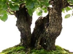 selection rhone alpes bonsai 2012 72