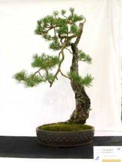 selection rhone alpes bonsai 2012 95