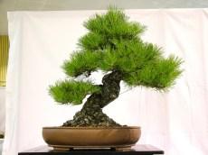 selection rhone alpes bonsai 2012 98