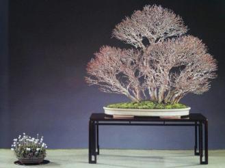 bonsai de forêt - acer palmatum