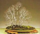 forêt de bonsai