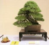 Kokufu 2013 prize - pinus thunbergii