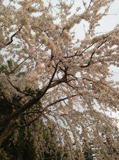 cerisiers en fleur au Japon hanami - 02