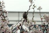cerisiers en fleur au Japon hanami - 06