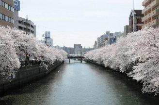 cerisiers en fleur au Japon hanami - 24