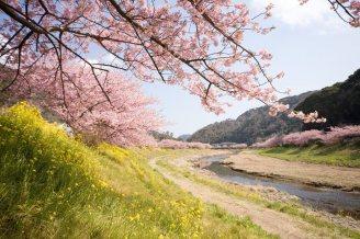 cerisiers en fleur au Japon hanami - 30