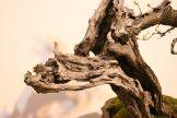 EBA 2013 France - prunus mahaleb - thierry font 10
