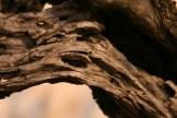EBA 2013 France - prunus mahaleb - thierry font 13