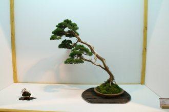 EBA2013 nicola crivelli - juniperus chinensis 01